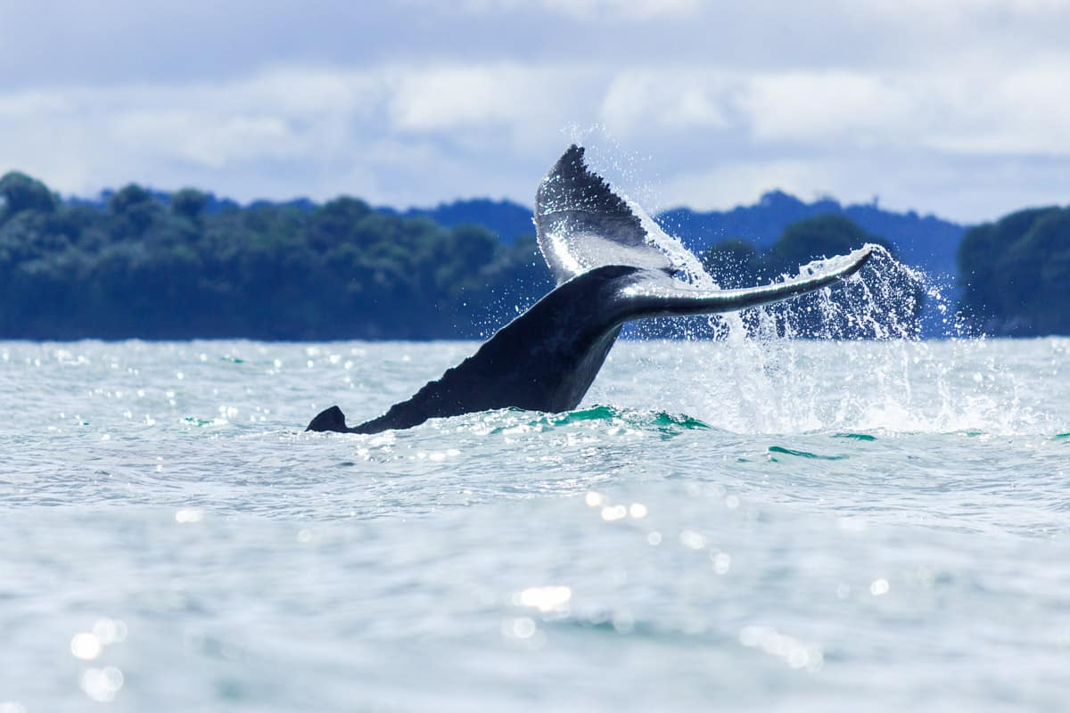 où voir les baleines à Bahia Malaga Buenaventura sur la côte pacifque en colombie