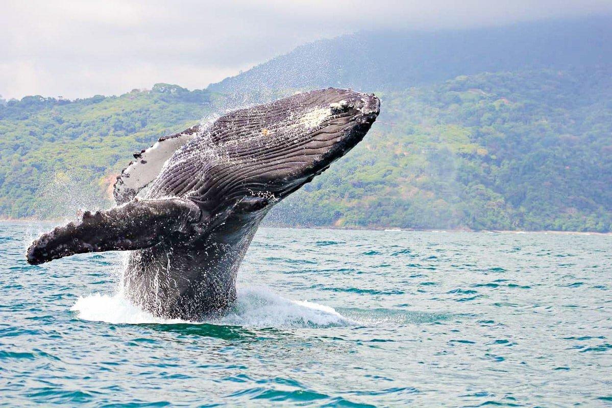 où voir les baleines à Isla Gorgona sur la côte pacifque en colombie