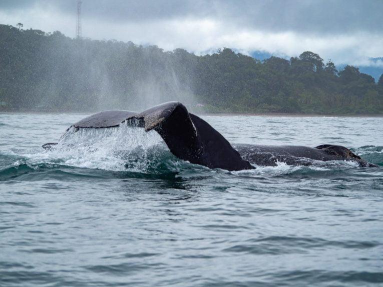 voir les baleines à el valle sur la côte pacifique de colombie