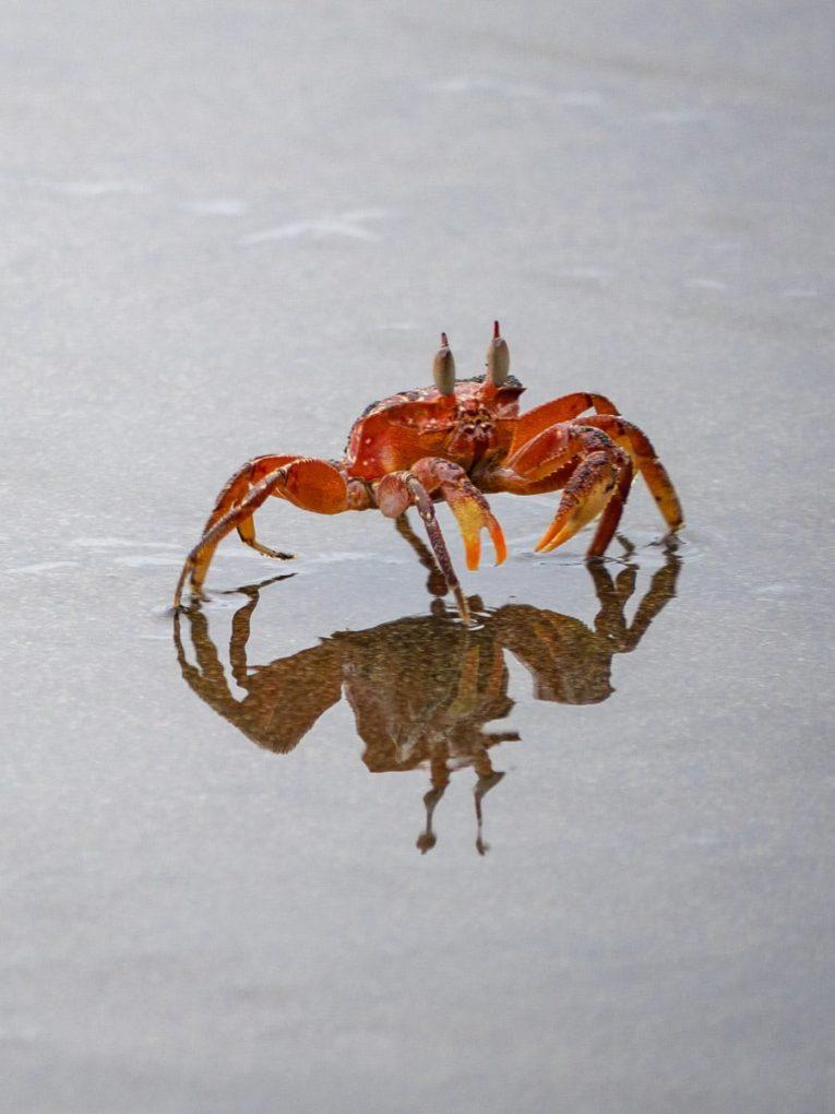 crabe rouge sur la plage El Tigre à El valle , Bahia Solano en Colombie