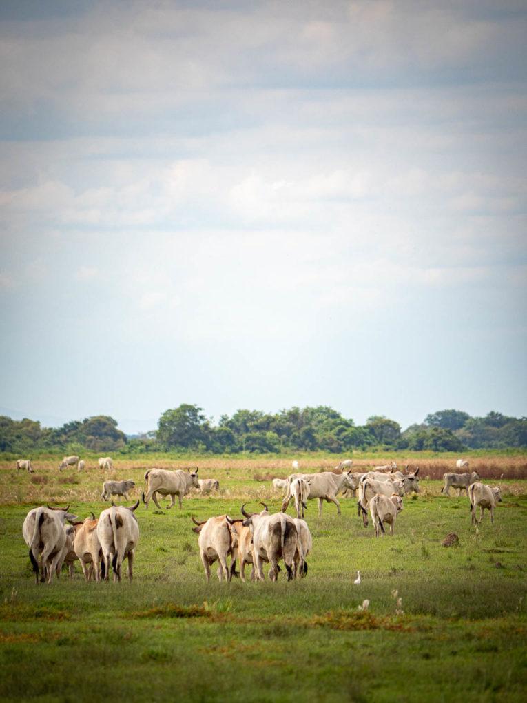 Hato los deseos, Trinidad près de Yopal dans le Casanare, Llanos de Colombie