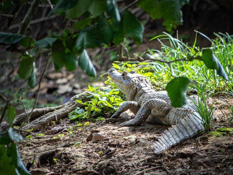 Caiman, faune et animaux sauvages dans la région du Casanare, Llanos en Colombie