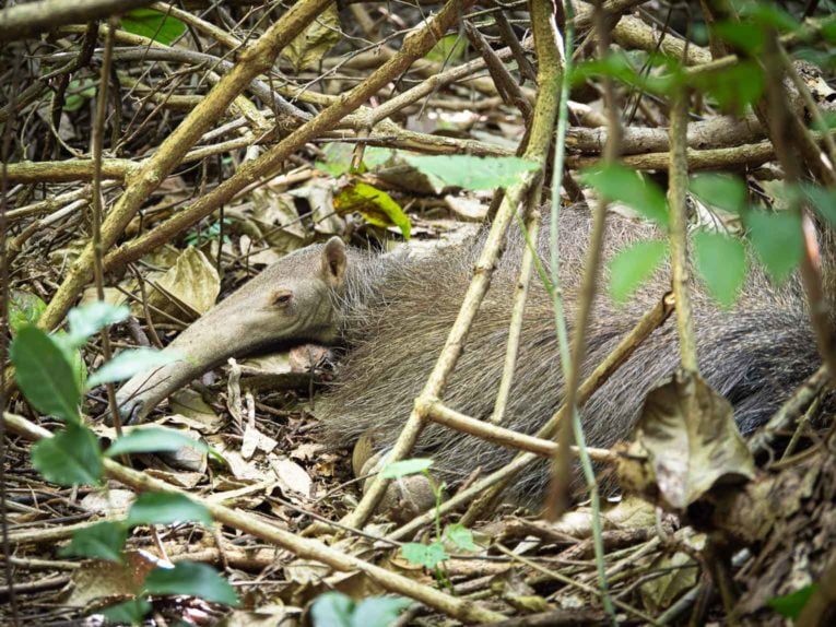 Fourmilier, faune et animaux sauvages dans la région du Casanare, Llanos en Colombie