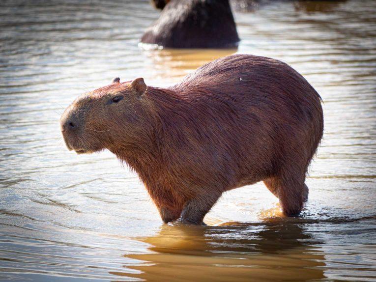 Chigüriro, faune et animaux sauvages dans la région du Casanare, Llanos en Colombie