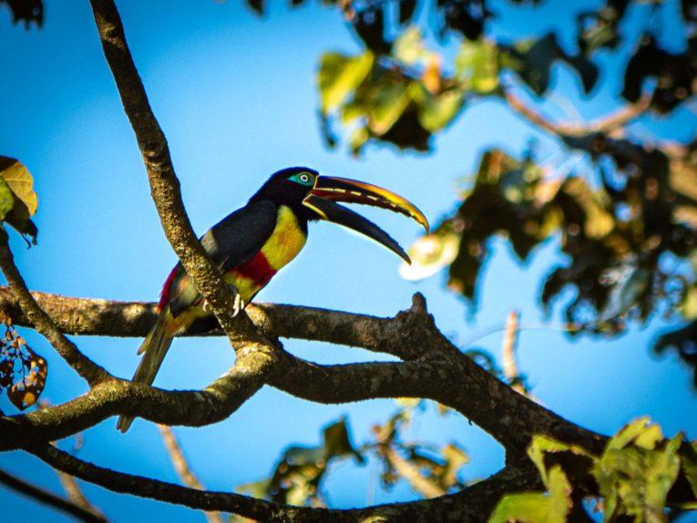 Toucan, faune et animaux sauvages dans la région du Casanare, Llanos en Colombie