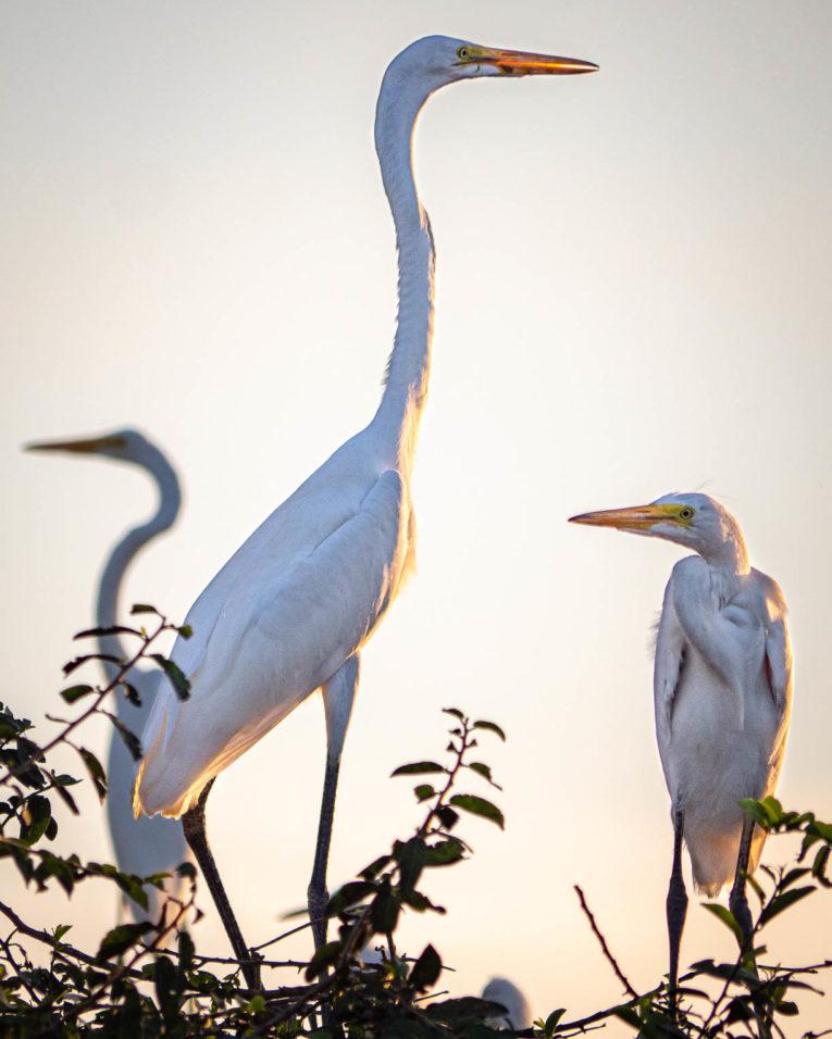 hérons, faune et animaux sauvages dans la région du Casanare, Llanos en Colombie