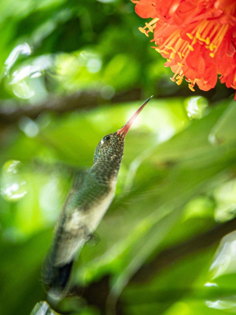 Colibri, faune et animaux sauvages dans la région du Casanare, Llanos en Colombie