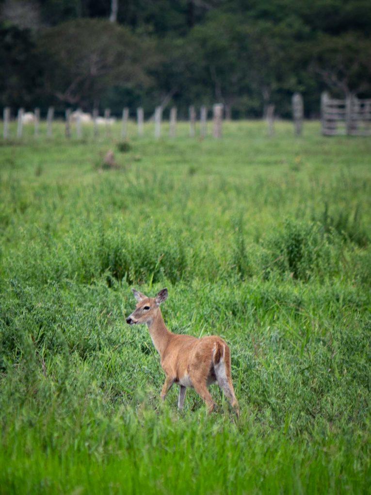 Biches, faune et animaux sauvages dans la région du Casanare, Llanos en Colombie