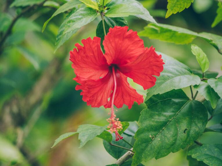 fleurs coqui