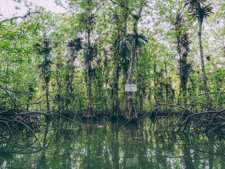 mangrove coqui pacifique