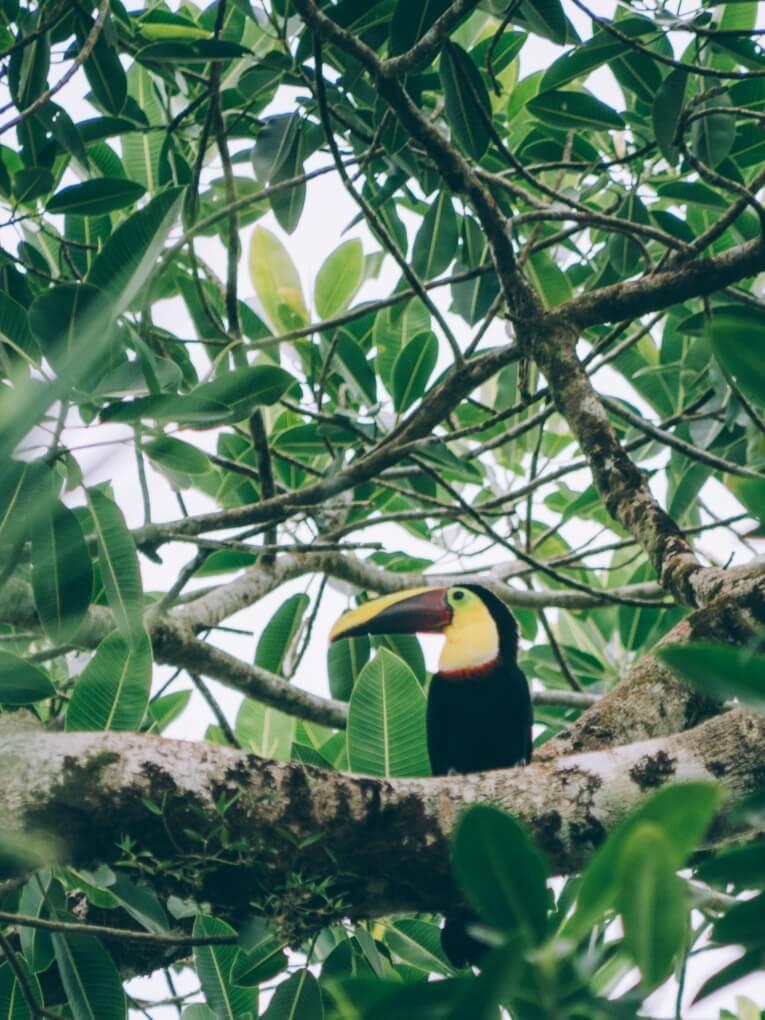 toucan arusi